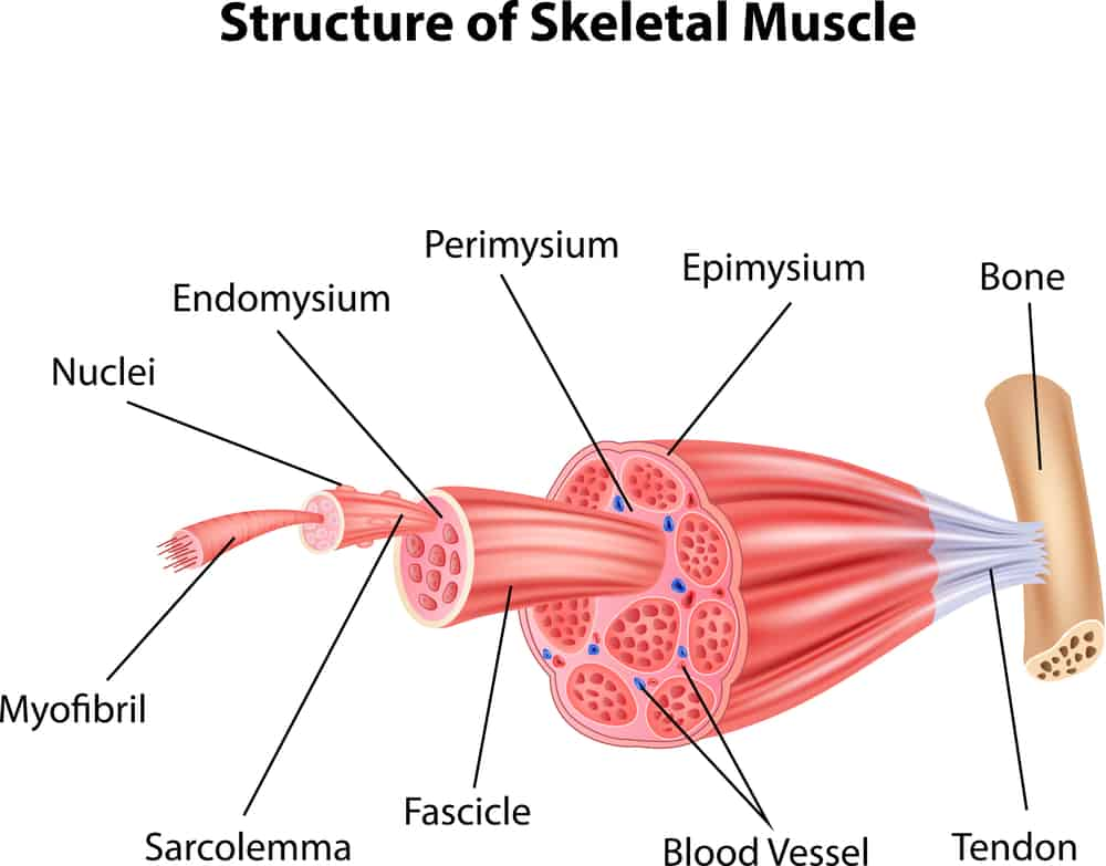 structure of skeletal muscle anatomy